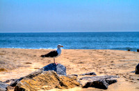 Seagull at Breezy Point